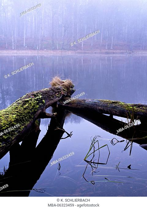 Germany, Brandenburg, beech forest Grumsin, UNESCO World Heritage - natural site of European beech forests, fallen beech trees in forest lake, misty mood