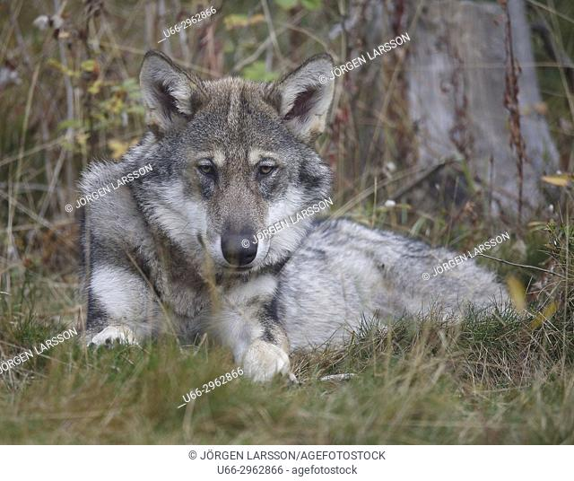 Wolf (Canis lupus), Gronklitt, Dalarna, Sweden