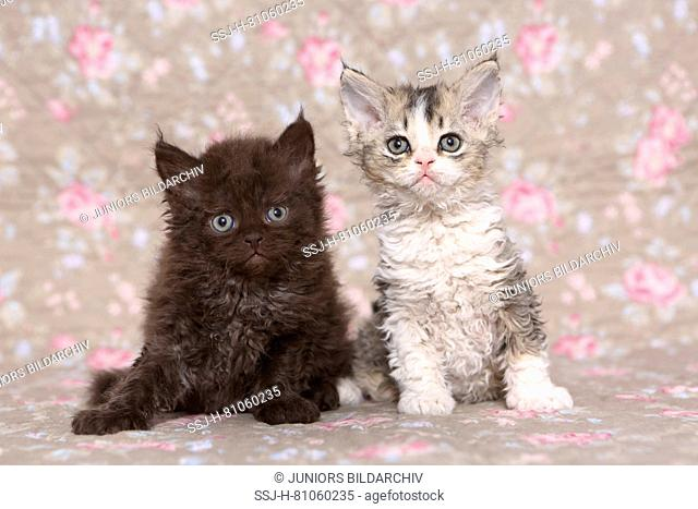 Selkirk Rex. Two kittens (6 weeks old) sitting. Studio picture seen against a floral design wallpaper. Germany
