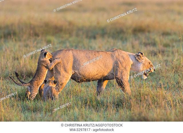 African Lion (Panthera leo) female with cubs, Maasai Mara National Reserve, Kenya, Africa