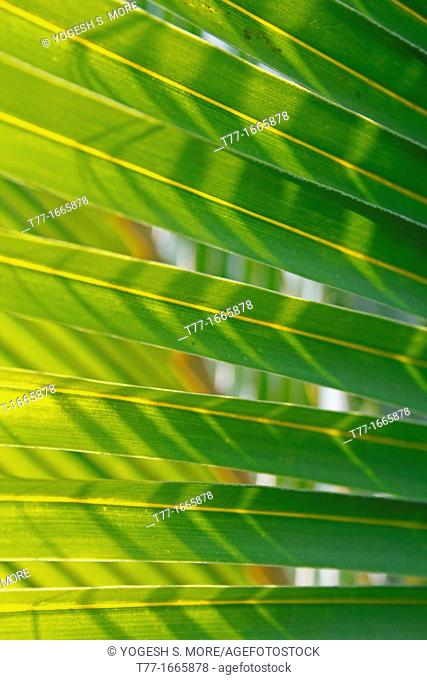 coconut leaf backside light in the morning