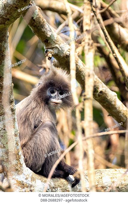 South east Asia, India, Tripura state, Phayre's leaf monkey or Phayre's langur (Trachypithecus phayrei)