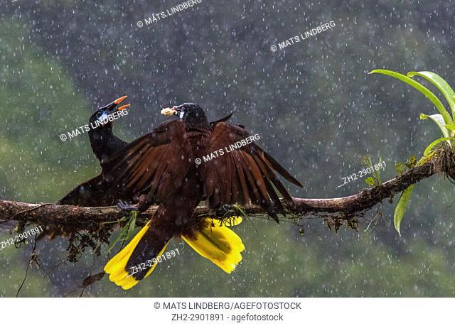 Two Montezuma oropendola, Psarocolius montezuma, on a tree bransch fighting and one is having a piece of food in his beak in rainfall, at Lagund del Lagarto