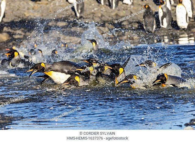 Antarctic, South Georgia Island, Saint Andrews plains, King Penguin (Aptenodytes patagonicus), adult