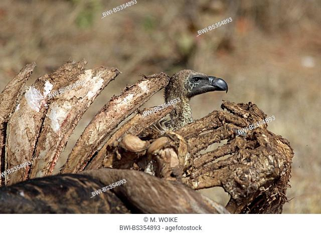 African white-backed vulture (Gyps africanus), vulture standing behind a gnawed off skeleton of a buffalo, South Africa, Kruger National Park