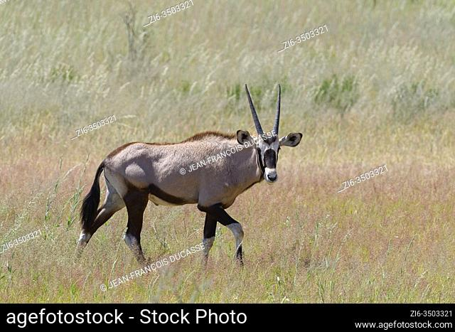 Gemsbok (Oryx gazella), young male, walking in the tall grass, Kgalagadi Transfrontier Park, Northern Cape, South Africa, Africa