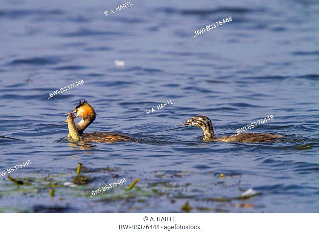 great crested grebe (Podiceps cristatus), squaeker begging for a spike in the baek of the adult, Germany, Bavaria, Lake Chiemsee