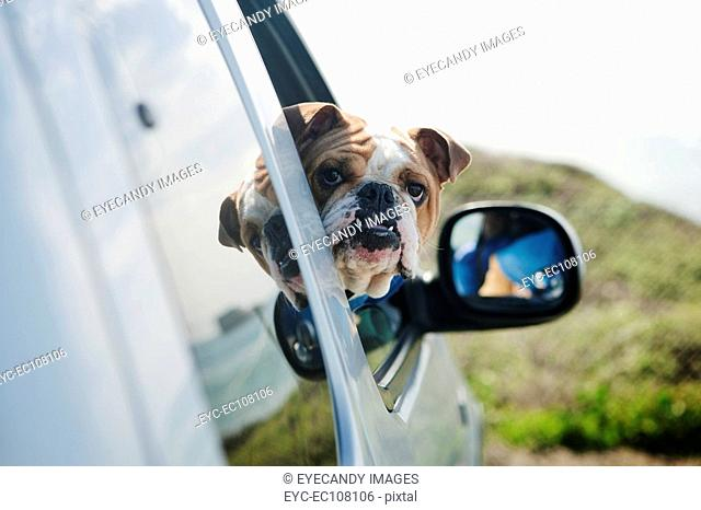 Bulldog with head out of car