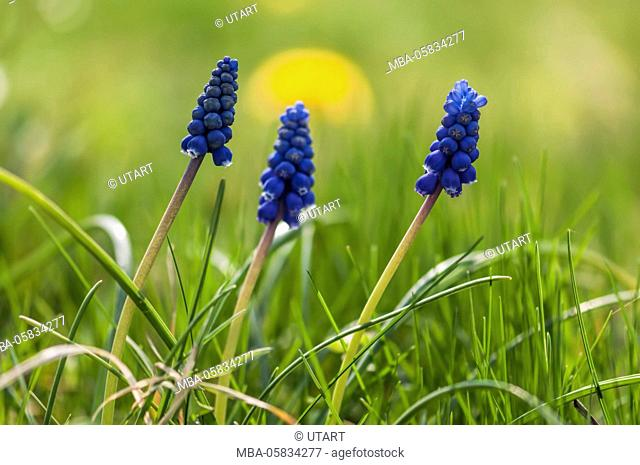 3 blue blossoming grape hyacinths in green meadow, in the background yellow blossom, colour contrast