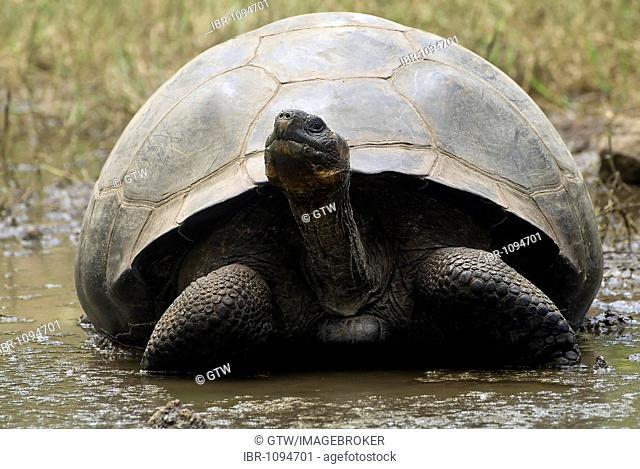 Galápagos Giant Tortoise (Geochelone elephantopus porteri), Santa Cruz Island, Galápagos Islands, UNESCO World Heritage Site, Ecuador