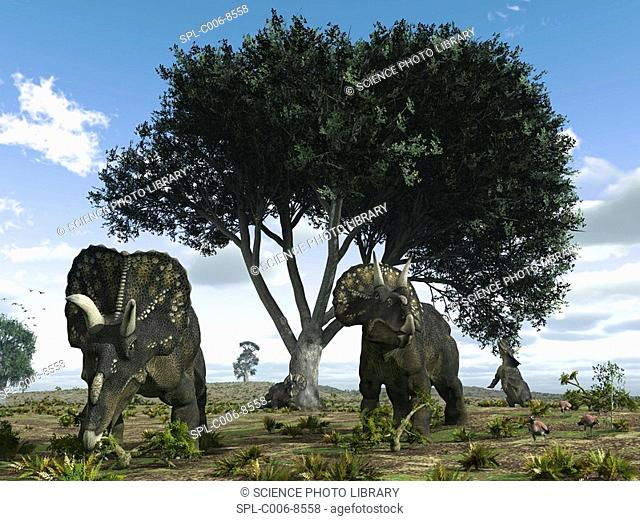 Nedoceratops dinosaurs. Artwork of nedoceratops formerly known as Diceratops dinosaurs grazing beneath an oak tree. This horned herbivorous dinosaur is known...
