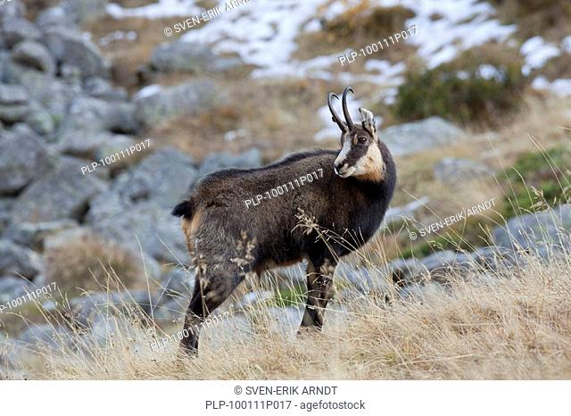 Chamois Rupicapra rupicapra looking backwards in the Alps in autumn, Gran Paradiso NP, Italy