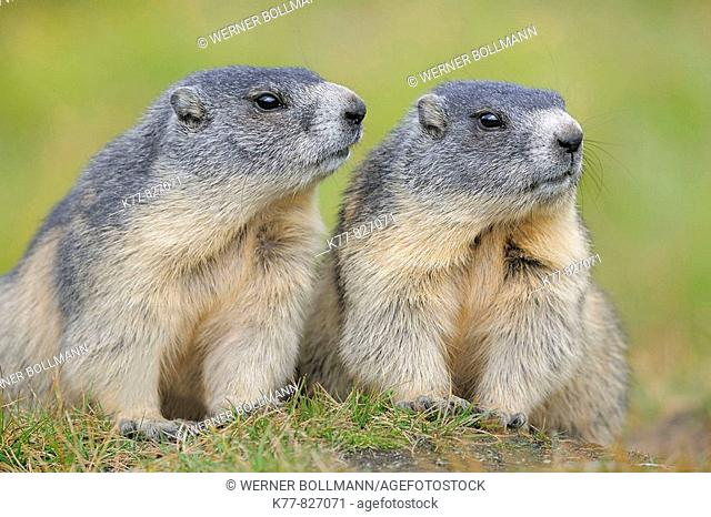 Alpine Marmot (Marmota marmota), two young animals. Großglockner, Austrian Alps