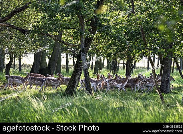 Harde de daims, Parc du Chateau de Nogent-le-Roi, Departement d'Eure-et-Loir, region Centre-Val-de-Loire, France, Europe/Herd of fallow deer