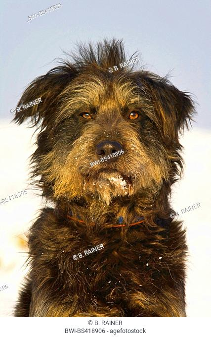 mixed breed dog (Canis lupus f. familiaris), mixed breed dog sitting in snow, portrait, Germany