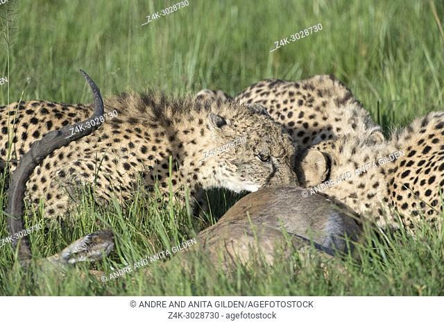 Cheetah (Acinonix jubatus) mother with two juveniles eating from just killed male impala (Aepyceros melampus), Maasai Mara National Reserve, Kenya
