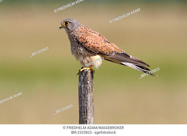 Kestrel (Falco tinnunculus), male perched on a pole, Apetlon, Lake Neusiedl, Burgenland, Austria, Europe