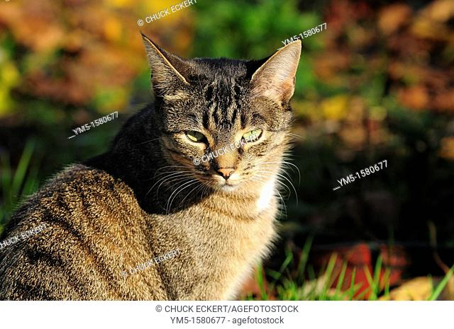 A tabby cat outdoors hunting for prey