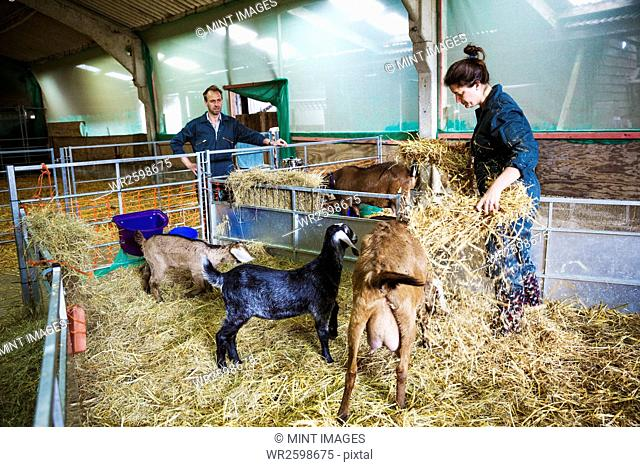 Man and woman in a stable with goats, scattering straw on the floor