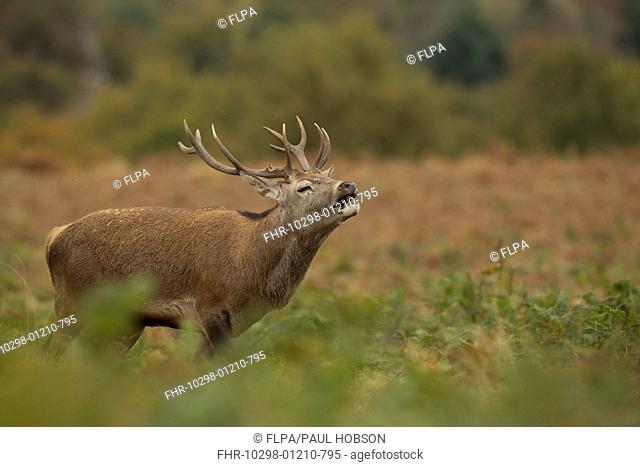 Red Deer (Cervus elaphus) stag, in flehmen, during rutting season, Bradgate Park, Leicestershire, England, October