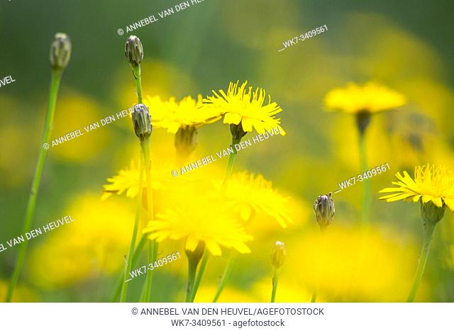 Dandelion yellow fiel in the summer close-up, beautiful nature background