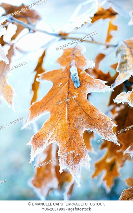Frost on the leaves of red oak