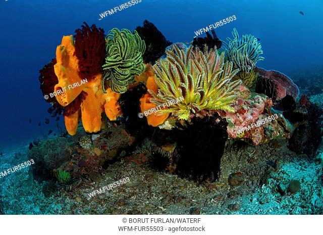 Crinoids on Sponge, Alor, Indonesia