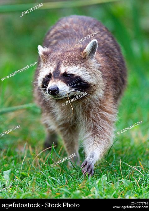 Close-up portrait of an adult raccoon, natural habitat