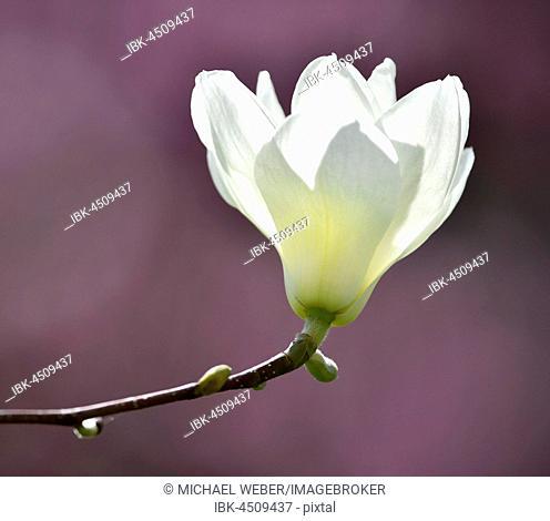 Yulan magnolia (Magnolia denudata Desr.), Baden-Württemberg, Germany