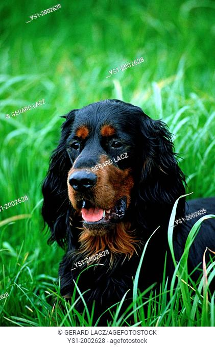 Gordon Setter Dog, Portrait of Adult in Long Grass