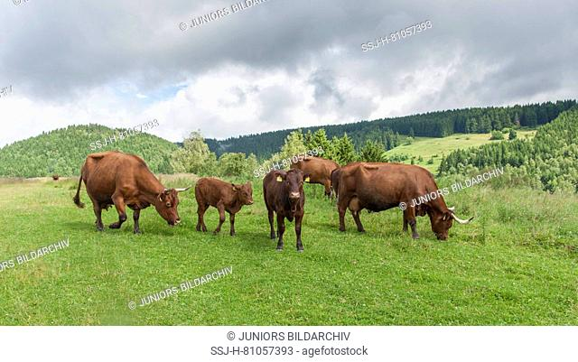 Harzer Rotvieh. Herd grazing. Harz, Germany