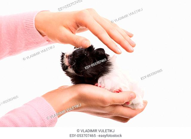 A close up shot of a female petting her guinea pig, isolated on white background