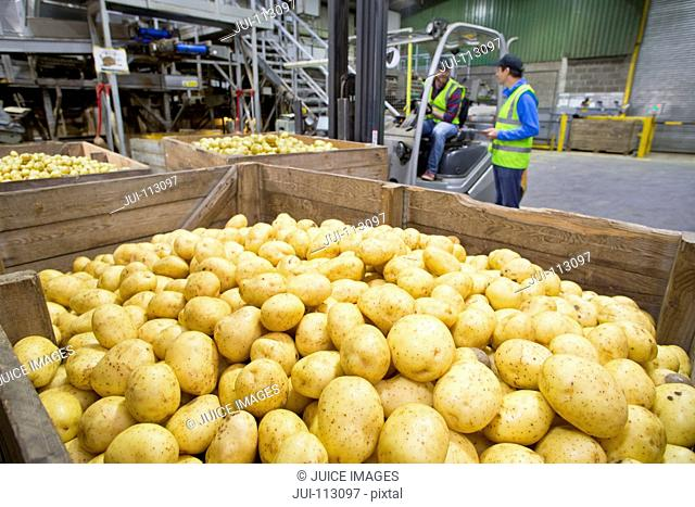 Workers at forklift moving bins of fresh harvested potatoes