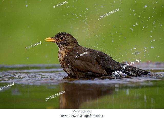 blackbird Turdus merula, female bathing in garden pool, United Kingdom, Scotland, Cairngorms National Park