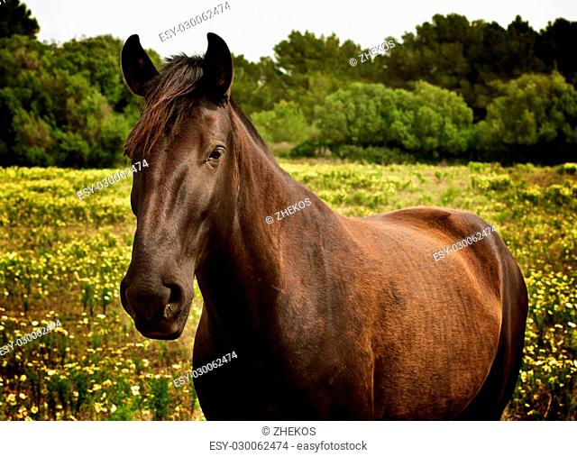 Beautiful Brown Horse Breed Caballos Baleares closeup on Field with Yellow Flowers Outdoors