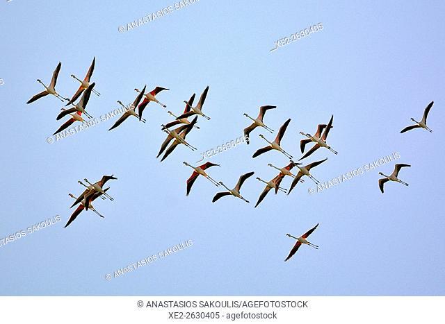Greater Flamingo Phoenicopterus roseus, Crete