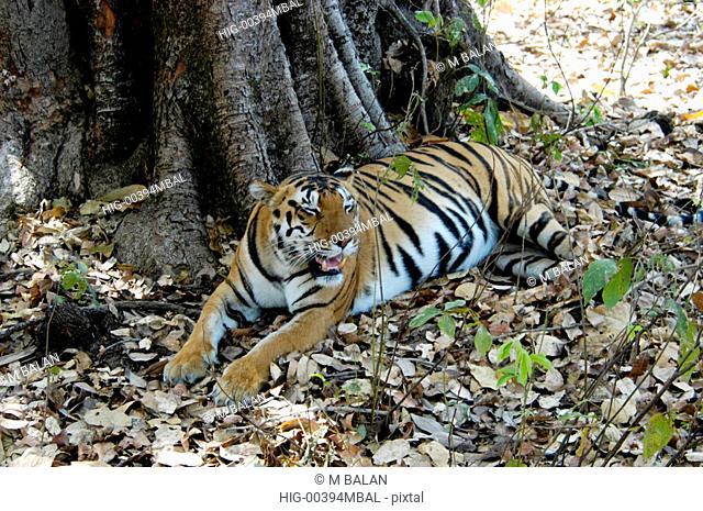 ROYAL BENGAL TIGER IN KANHA NATIONAL PARK, MADHYA PRADESH