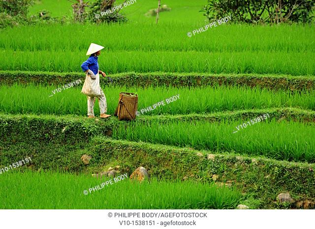 Vietnam, province of Hoa Binh, national Park of Cuc Phuong, Ban Hieu, Thai woman in rice fields in terrace
