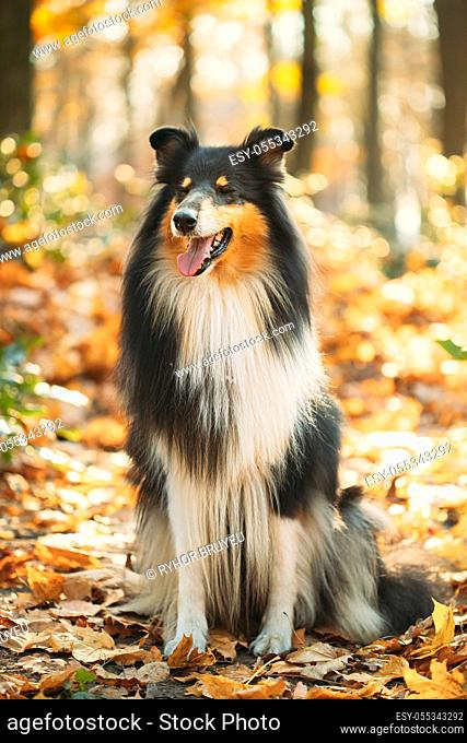 Tricolor Rough Collie, Funny Scottish Collie, Long-haired Collie, English Collie, Lassie Dog Outdoors In Autumn Day. Portrait