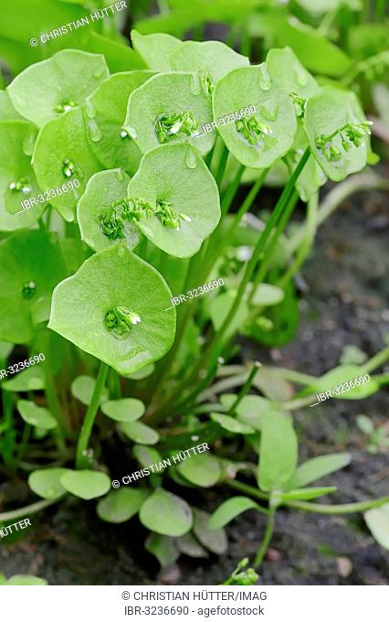 Miner's Lettuce, Winter Purslane or Indian Lettuce (Claytonia perfoliata syn. Montia perfoliata)