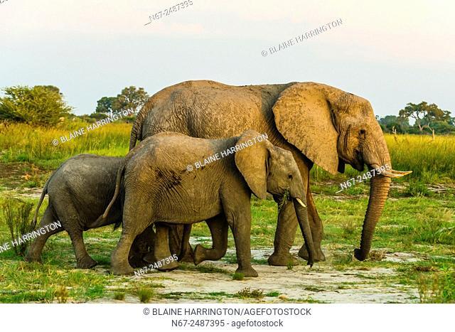 Elephants, Kwando Concession, Linyanti Marshes, Botswana