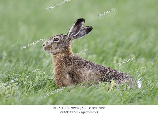 Hare / Brown Hare / European Hare ( Lepus europaeus ) sitting in a meadow, watching attentively, nice side view, wildlife, Europe