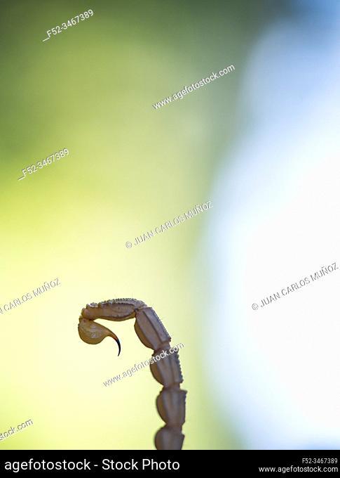 Common Yellow Scorpion (Buthus occitanus). Sierra de San Pedro, Cáceres, Extremadura, Spain, Europe
