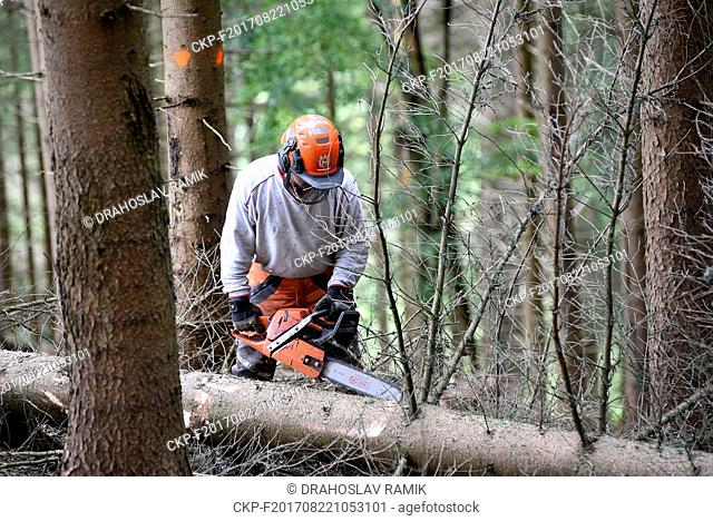 The state-run forest management company Lesy CR woodcutter cuts the bark beetle attacked tree trunk near Moravka, Beskydy Mountains, Czech Republic, on Thursday