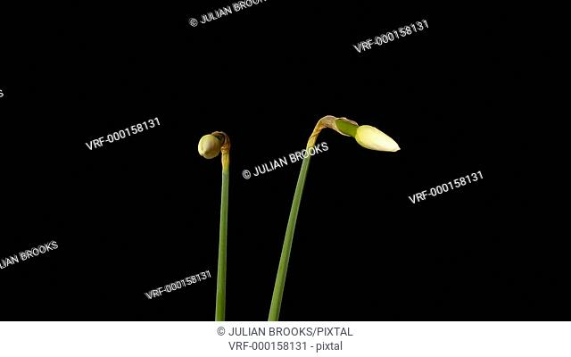 Two narcissus flowers opening in time lapse