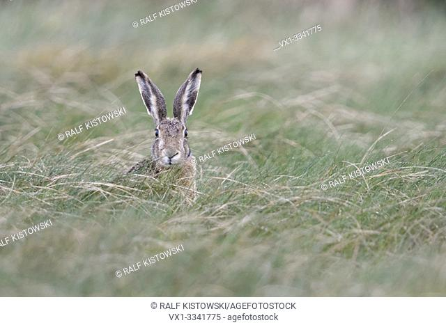 Hare, Brown Hare / European Hare ( Lepus europaeus ) sitting in high grass, watching attentively towards the camera, looks funny, wildlife, Europe