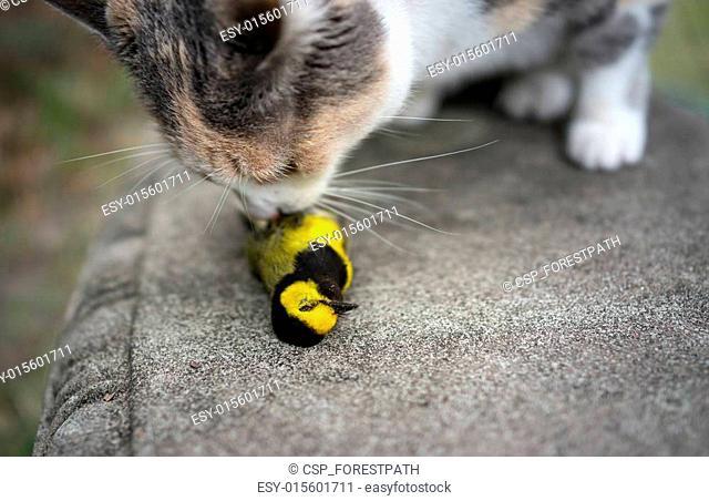 Calico Cat Sniffing captured bird
