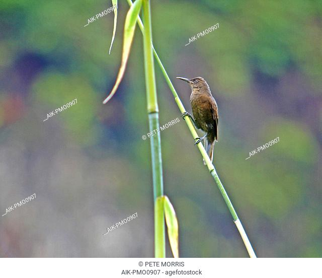 Endangered Tahiti reed warbler (Acrocephalus caffer) perched in understory of the island of Tahiti