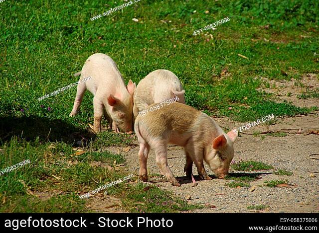 Schwein - pig 01
