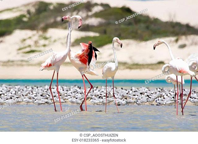 Flock of flamingos wading in shallow lagoon water